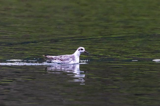 Avvistato l&#8217&#x3B;uccello della Groenladia
