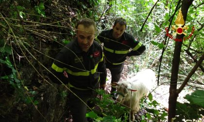 I Vigili del fuoco recuperano un caprone