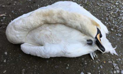 La compagna del cigno ucciso a bastonate si lascia morire di fame