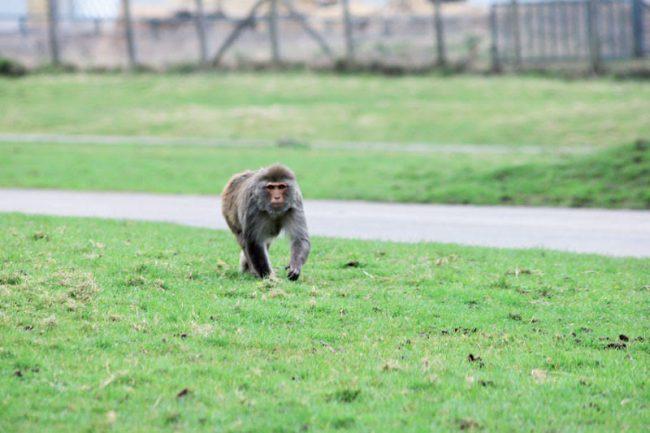 #sosmonkey: dopo diverse settimane l'animale non sarebbe stato ancora ritrovato