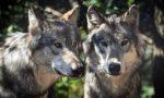 Lupi divorano 43 pecore: gregge quasi sterminato fra morti, feriti e dispersi