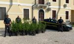 Noventa Vicentina, la marijuana fa 100! Maxi sequestro in un fondo agricolo – FOTO