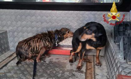 Intrappolati nel canale di scolo con una nutria: le foto dei due cani salvati a Montegalda