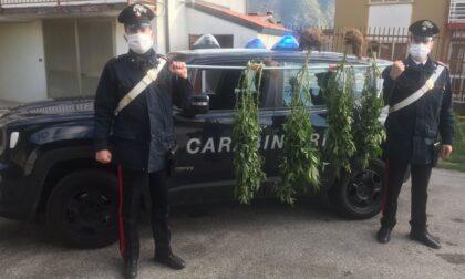 I Carabinieri intervengono per un cane libero e trovano una serra di marijuana in casa