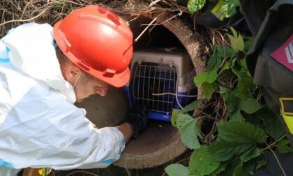 Le immagini del gattino incastrato nel canale di scolo salvato dai pompieri