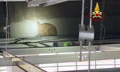 Gattina non vuole essere sterilizzata e si nasconde nel controsoffitto