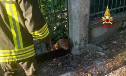 Capriolo resta incastrato nel cancello a Vicenza: liberato dai Vigili del fuoco
