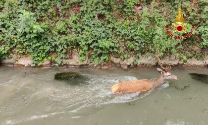 Cervo bloccato in un canale, le immagini del salvataggio